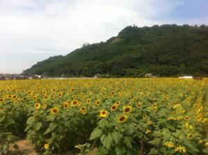 杷木町のひまわり畑