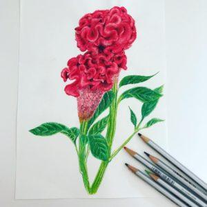 色鉛筆で描いたケイトウの花