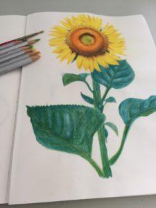 色鉛筆で描いた向日葵のイラスト