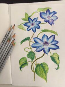 クレマチスの色鉛筆画